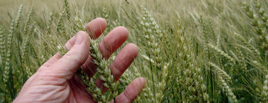 A farmer inspecting unripe ears of barley