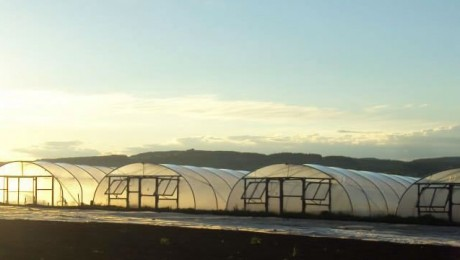 A row of polytunnels lit by the rising sun