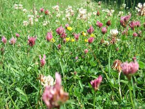 Clover is a natural nitrogen fixer. Credit: Rowan Adams, Creative Commons