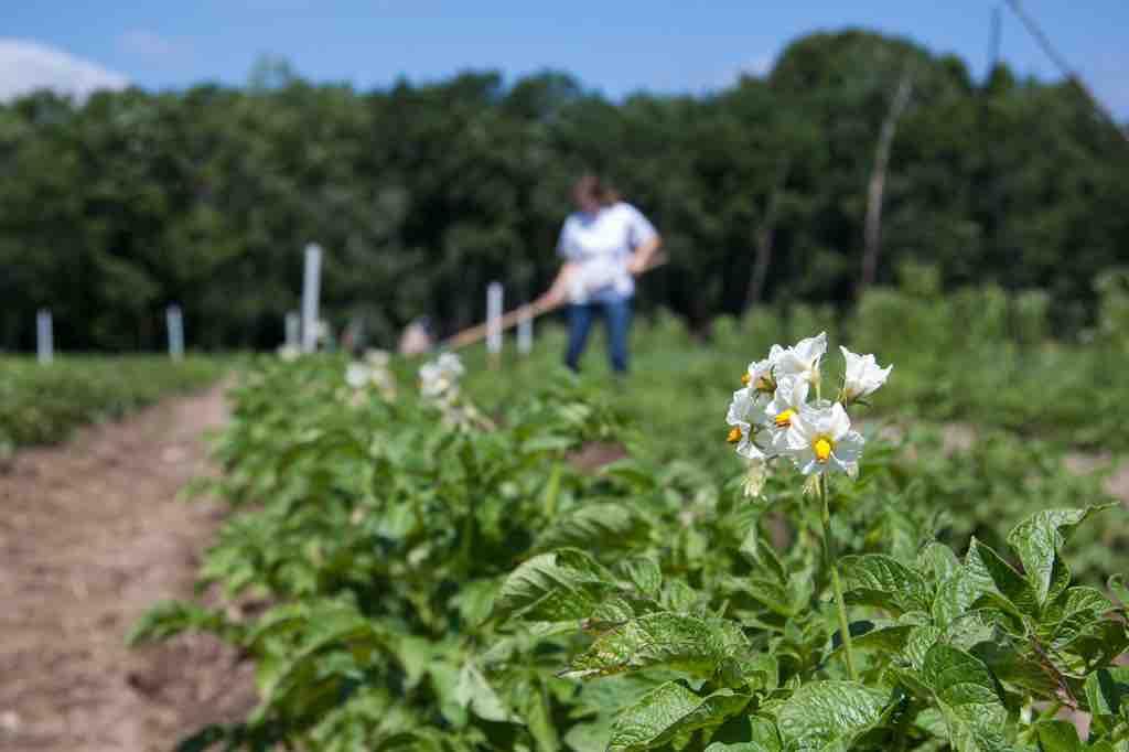 Person working in a potato field