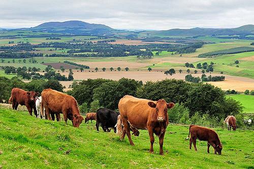 Cows and calves at Whitmuir Organic farm. ©Lorne Gill/SNH